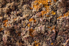 Curry and beige lichen on a cliff in Madeira. Royalty Free Stock Image