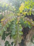 Curry'ego liścia roślina Obrazy Royalty Free