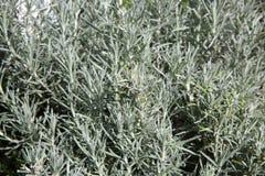 Curry Herb Plant Foto de archivo libre de regalías
