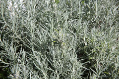 Curry Herb Plant Royaltyfri Foto