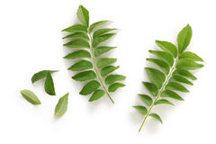 Curry leaf, curry tree Royalty Free Stock Photos