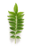 Curry leaf, curry tree Stock Photos