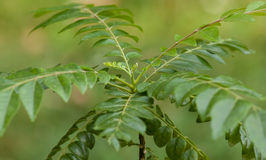 Curry leaf, curry tree Royalty Free Stock Images