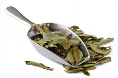 Curry Leaves stock photo