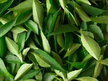 Curry leaves Royalty Free Stock Photos