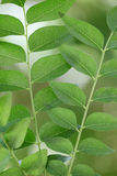 Curry leaves Stock Images