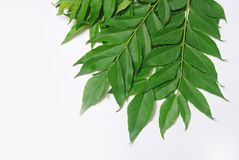 Curry leaves. Fresh curry leaves ready for cooking Stock Images