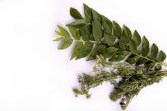 Curry leaves and cilantro Stock Image