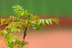 Curry leaves Royalty Free Stock Photography
