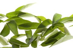 Curry Leaves Isolated stock photo