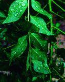 Curry leaves after rain stock photo