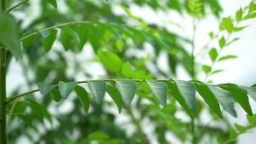 Curry leaves tree plant stock video