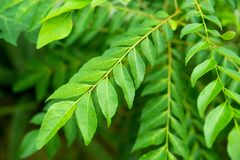 Curry leaves tree plant royalty free stock images