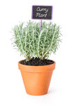 Curry plant in a clay pot with a label Stock Photography