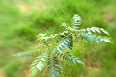 Curry tree. Murraya koenigii, taken with lensbaby with focus on the center of right tree stock photos