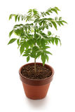 Curry tree, curry leaf Royalty Free Stock Image