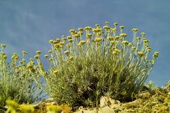 Curryväxt (Helichrysumitalicumen) Royaltyfria Bilder