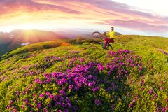 Curso com flor carpathians foto de stock royalty free
