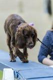 Curso da agilidade do cão Foto de Stock