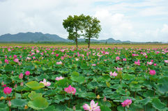 Curso de Vietname, delta de Mekong, lagoa de lótus Fotografia de Stock Royalty Free
