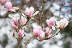 Curso: Flor da magnólia em Paris França foto de stock
