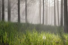 Curso na floresta do pinho da fuga, Vietnam da descoberta Fundo com raios de sol mágicos, luz, névoa densa e parte 13 do ar fresc fotografia de stock