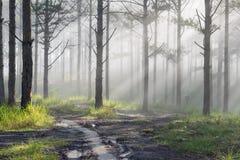 Curso na floresta do pinho da fuga, Vietnam da descoberta Fundo com raios de sol mágicos, luz, névoa densa e parte 12 do ar fresc foto de stock