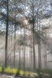 Curso na floresta do pinho da fuga, Vietnam da descoberta Fundo com raios de sol mágicos, luz, névoa densa e parte 11 do ar fresc imagens de stock royalty free