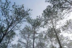 Curso na floresta do pinho da fuga, Vietnam da descoberta Fundo com raios de sol mágicos, luz, névoa densa e parte 5 de ar fresco fotografia de stock royalty free