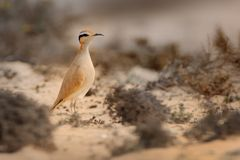 Cursorius cursor - Cream-colored Courser Royalty Free Stock Photography