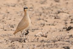 Cursorius cursor - Cream-colored Courser Stock Photo