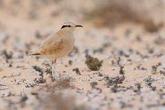 Cursorius cursor - Cream-colored Courser Stock Images