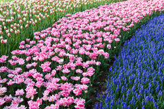 Cursos coloridos das flores Fotos de Stock