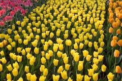 Cursos dos tulips na luz solar Imagem de Stock