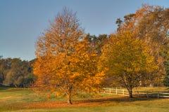 Cursus van het golf Twee bladgoudbomen Stock Afbeeldingen
