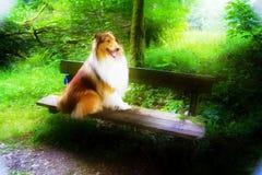 curt collie, zdjęcie royalty free