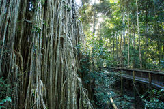 Curtain Fig Tree. The famous Curtain Fig Tree near Yungabarra in the Atherton Tablelands, Queensland, Australia Stock Photos