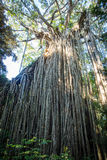 Curtain Fig Tree Royalty Free Stock Photography
