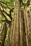 Curtain Fig Tree stock image