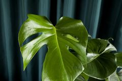 Curtain monstera deliciosa. A potted green monstera deliciosa plant on a green curtain background. Gradient colors. Minimal color still life photography Royalty Free Stock Photography
