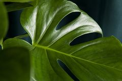 Curtain monstera deliciosa. A potted green monstera deliciosa plant on a green curtain background. Gradient colors. Minimal color still life photography Stock Image
