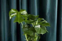 Curtain monstera deliciosa. A potted green monstera deliciosa plant on a green curtain background. Gradient colors. Minimal color still life photography Stock Photos