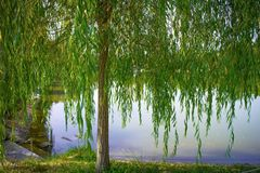 Curtain of willow. A beauitufl willow nearby a lake Stock Photography