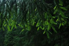 Curtains of the spruce. royalty free stock photos