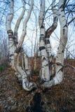 Curva árboles de abedul en la colina en primavera Imagen de archivo libre de regalías