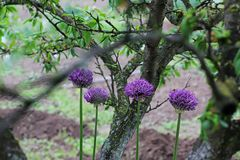 curva Allium Curva violeta Jardim fotografia de stock royalty free