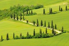 Curva de Cypress Imagens de Stock Royalty Free