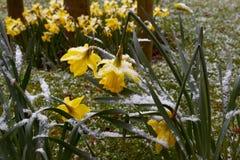 Curva de los narcisos bajo el peso de la nieve Imagen de archivo libre de regalías