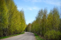 Curva del camino a lo largo de las filas de los árboles de abedul de la primavera Imágenes de archivo libres de regalías