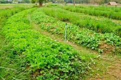 Curva del campo delle verdure nell'azienda agricola della campagna Immagini Stock Libere da Diritti